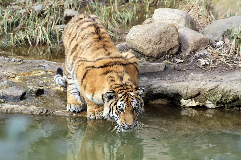 Zoo Leipzig: Tiger am Wasser